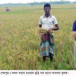 এবার 'মুড়ি ধানে' নতুন বিপ্লব : শেরপুরে অল্প খরচে লাভবান কৃষক