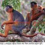 শেরপুরের পল্লীতে বিরল প্রজাতির হনুমান জুটির বিচরণ